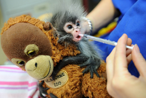 Baby spider monkey being fed with a syringe