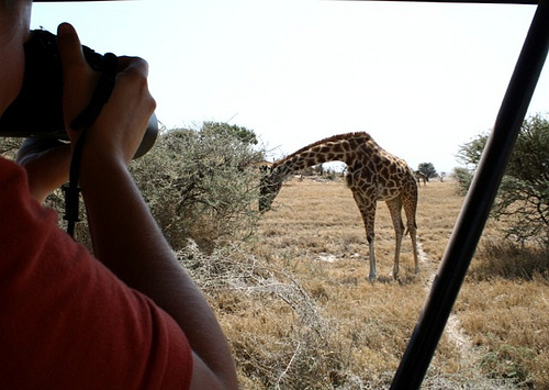 Photographing a giraffe