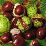 300px-Aesculus_hippocastanum_fruit